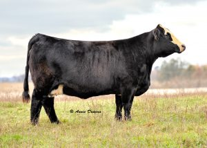 Lot #5 -- Full Circle Farms consigned a MF Miss Built Right U553 pregnancy which sold for $3,900.