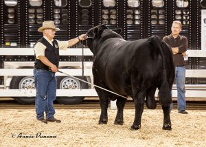 Cliff Orley showing in the Supreme Drive, Keystone International Livestock Expo, Harrisburg, PA.