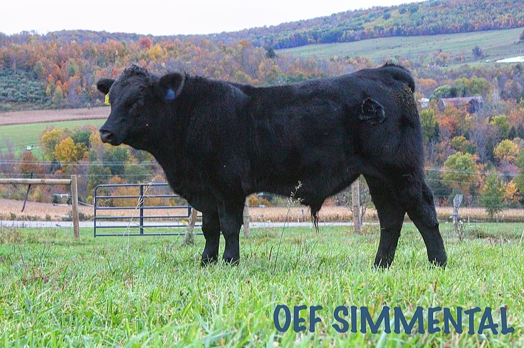 Cattle Sale Barn | Pennsylvania Simmental Association