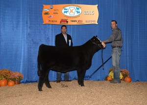 Reserve Grand Champion Simmental Female -- S&S Emily's Honey owned by Tim Schaeffer, Schaeffer Show Cattle, Hagerstown, IN